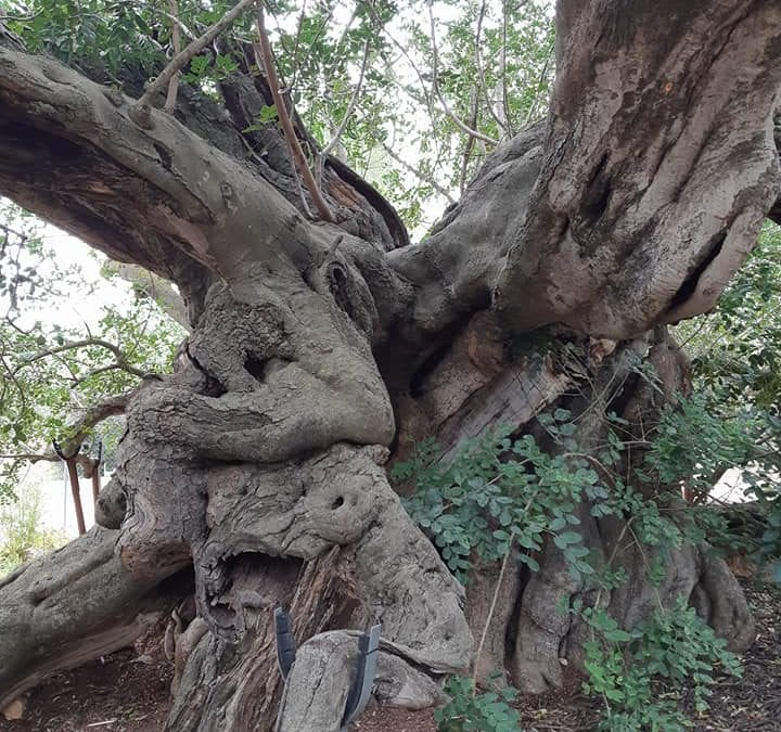 Visit historic 850 year old tree Foia Brell